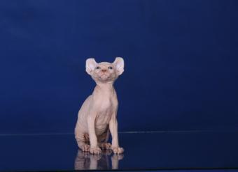 """Эльф, бамбино, Двэльф, канадский сфинкс, разноглазый белый, чёрный питомник """"Скорпион"""", канадский сфинкс, сфинкс, голые кошки, доставка по миру, родословная, элитные кошки, котята канадского сфинкса, египетские кошки, продажа котят, недорого, кошки фараонов, клубные котята, куплю, продам, котёнка, привиты, с родословной, элитные котята, show-класс, окрас черный купить канадского сфинкса, купить котенка, котята сфинкс, пойнт, голубоглазый, белый, чёрный, шоколадный, голубой"""