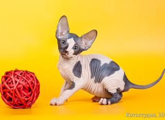 """канадский сфинкс, сфинкс, голые кошки, элитные кошки, котята канадского сфинкса, египетские кошки, продажа котят, порода, кошки фараонов, доставка, родословная, породистый, клубные котята, родословная, куплю, продам, котенка, привиты, с родословной, элитные котята, show-класс окрас черный  купить канадского сфинкса, черепахи на белом, купить котенка, котята сфинкс, питомник """"Скорпион"""", пойнт, голубоглазый, шоколадный, голубой, окрас"""