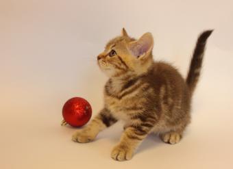 Шоколадный мраморный кот