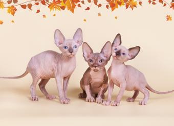 """питомник """"Скорпион"""", канадский сфинкс, сфинкс, голые кошки, доставка по миру, родословная, элитные кошки, котята канадского сфинкса, египетские кошки, продажа котят, недорого, кошки фараонов, клубные котята, куплю, продам, котёнка, привиты, с родословной, элитные котята, show-класс, окрас черный купить канадского сфинкса, купить котенка, котята сфинкс, пойнт, голубоглазый, шоколадный, голубой"""