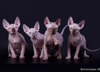 канадский сфинкс, сфинкс, голые кошки, элитные кошки, котята канадского сфинкса, египетские кошки, продажа котят, порода канадский сфинкс, кошки фараонов, доставка, родословная, питомник, срочно, девочка, мальчик, документы, с документами, доставка, привиты, с родословной, show-класс, куплю, купить, продам, продажа