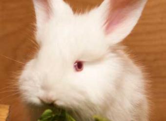крольчата немецкой ангоры